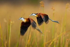 Two adult African jacanas (Actophilornis africanus) flying over reedbeds, Selinda Spillway, northern Botswana. - Neil Aldridge