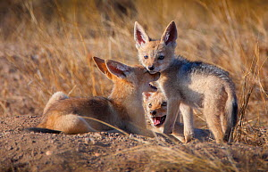 Black-backed Jackal (Canis mesomelas) pups waiting at their den on Mashatu Game Reserve, Tuli, Botswana.  -  Neil Aldridge