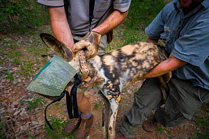 Vets and researchers from the Endangered Wildlife Trust carry an immobilised adult male African wild dog (Lycaon pictus) during a translocation operation Venetia Limpopo Reserve, South Africa. - Neil Aldridge