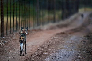 African wild dog (Lycaon pictus) staring at another animal along a fenceline on Venetia Limpopo Reserve, Limpopo Province, South Africa.. In South Africa, predator-proof fences have been responsible f...  -  Neil Aldridge