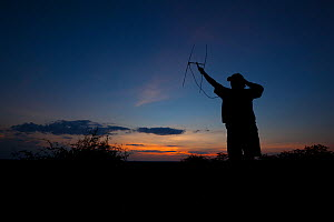 A researcher from the Endangered Wildlife Trust uses radio telemetry equipment to track African wild dogs (Lycaon pictus) at dusk on Venetia Limpopo Nature Reserve, South Africa.  February 2010.  -  Neil Aldridge