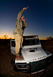A researcher from the Endangered Wildlife Trust stands on a Land Rover while tracking African wild dogs (Lycaon pictus) using radio telemetry equipment on Venetia Limpopo Nature Reserve, South Africa....  -  Neil Aldridge