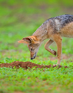 Black-backed jackal (Canis mesomelas) hunts for moles during summer on the open plains Mapungubwe National Park, South Africa. - Neil Aldridge