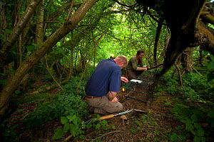 Defra Field Workers prepare a baited cage trap to catch a European Badger (Meles meles) for vaccination during bovine tuberculosis (bTB) vaccination trials in Gloucestershire, United Kingdom. June 201...  -  Neil Aldridge