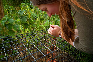 Defra Field Worker baits a cage trap with peanuts in preparation for carrying out the vaccination of European Badgers (Meles meles) during bovine tuberculosis (bTB) vaccination trials in Gloucestershi...  -  Neil Aldridge