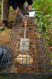 Defra Field Worker prepares a baited cage trap to catch a European Badger (Meles meles) for vaccination during bovine tuberculosis (bTB) vaccination trials in Gloucestershire, United Kingdom. June 201... - Neil Aldridge