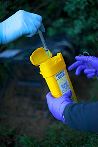 Defra Field Workers dispose of a used syringe as part of biosecurity measures after vaccinating a European Badger (Meles meles) during bovine tuberculosis (bTB) vaccination trials on farmland in Glouc...  -  Neil Aldridge