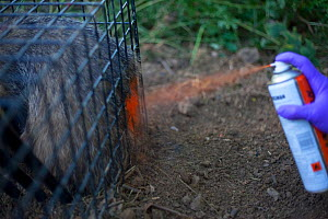 Defra Field Worker marks a European Badger (Meles meles) with spray paint after successfully vaccinating it in a cage trap as part of bovine tuberculosis (bTB) vaccination trials in Gloucestershire, U...  -  Neil Aldridge