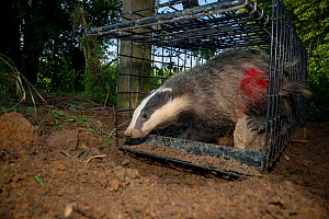 European Badger (Meles meles) exiting a cage trap after being vaccinated and marked with spray paint by Defra field workers during bovine tuberculosis (bTB) vaccination trials in Gloucestershire, Unit... - Neil Aldridge