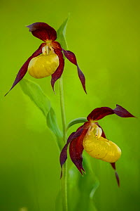 Two Lady's slipper orchids (Cypripedium calceolus) in flower in spring in woodland near Kuressaare, Saaremaa, Estonia. - Neil Aldridge