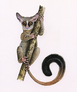 Rondo dwarf galago (Galagoides rondoensis) illustration. Critically endangered species.  -  Chris Shields