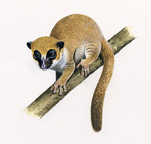 Lavasoa mountains dwarf lemur (Cheirogaleus lavasoensis) illustration.  -  Chris Shields