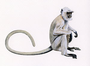 Chamba sacred langur (Semnopithecus ajax) illustration.  -  Chris Shields