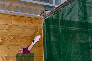 Samantha Pickering releasing young Common pipistrelle bats (Pipistrellus pipistrellus) she has reared  since their rescue as pups into a flight cage at dusk, North Devon Bat Care, Barnstaple, Devon, U...  -  Nick Upton