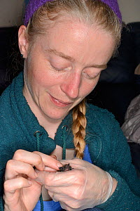 Samantha Pickering holding and stroking a rescued abandoned Common pipistrelle bat pup (Pipistrellus pipistrellus), North Devon Bat Care, Barnstaple, Devon, UK, August. Model released  -  Nick Upton