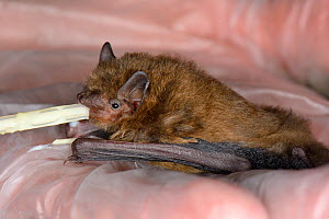 Rescued abandoned Soprano pipistrelle bat pup (Pipistrellus pygmaeus) feeding from a pipette, North Devon Bat Care, Barnstaple, Devon, UK, August. Model released  -  Nick Upton