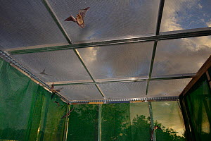 Young Common pipistrelle bats (Pipistrellus pipistrellus) reared in captivity since their rescue as pups, learning to fly and hunt in a flight cage at dusk before being released, North Devon Bat Care,...  -  Nick Upton