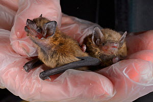 Rescued abandoned Common pipistrelle bat pup (Pipistrellus pipistrellus) held alongside a paler Soprano pipistrelle pup (Pipistellus pygmaeus), North Devon Bat Care, Barnstaple, Devon, UK, August. Mod...  -  Nick Upton