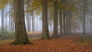 Panning shot of row of beech trees in autumn forest, Heidebos, Wachtebeke, Belgium, November  -  Philippe Clement