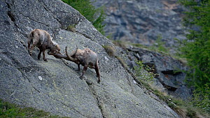 Two male Alpine ibex (Capra ibex) fighting on a steep mountain rock face, Gran Paradiso National Park, Graian Alps, Italy, June.  -  Philippe Clement