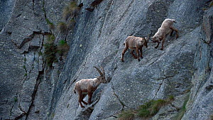 Three male Alpine ibex (Capra ibex) climbing up a steep mountain rock face, one pushes another one away, Gran Paradiso National Park, Graian Alps, Italy, June.  -  Philippe Clement