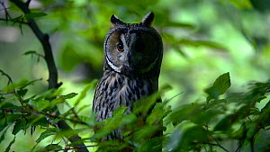 Long-eared owl (Asio otus / Strix otus) perched in tree in forest and heard prey below, Bavarian Forest National Park, Germany, May. Captive.  -  Philippe Clement
