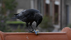 Jackdaw (Corvus monedula) pulling up a peanut string to feed, Belgium - Philippe Clement