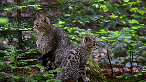 European wildcat (Felis silvestris silvestris) kitten playing with its mother's tail, Bavarian Forest National Park, Germany, May. Captive.  -  Philippe Clement