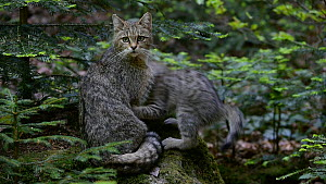 European wildcat (Felis silvestris silvestris) sitting on a rock, with kittens playing nearby, Bavarian Forest National Park, Germany, May. Captive. - Philippe Clement