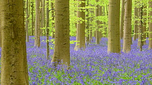 Panning shot of a Beech (Fagus sylvatica) forest with Bluebells (Hyacinthoides non-scripta) flowering, Hallerbos, Belgium, May  -  Philippe Clement