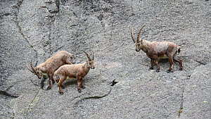 Group of Alpine ibex (Capra ibex) climbing a cliff face, with others fighting above them, Gran Paradiso National Park, Graian Alps, Italy, June. - Philippe Clement