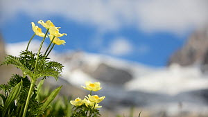 Alpine pasqueflower (Pulsatilla alpina) in flower, with a glacier in the background. Val Veny, Graian Alps, Italy, June.  -  Philippe Clement