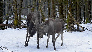 Tracking shot of a male Moose (Alces alces) playing with calf, Bavarian Forest National Park, Germany, March. Captive.  -  Philippe Clement