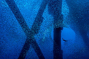 Brandt's cormorant (Phalacrocorax penicillatus) hunts for a meal in a school of Pacific chub mackerel (Scomber japonicus), beneath an oil rig. Eureka Rig, Los Angeles, California, United States of Ame... - Alex Mustard