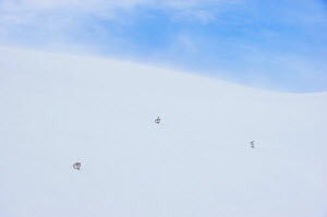 Mountain hare (Lepus timidus) three adults on a snow slope high in the Cairngorm Mountains, Cairngorms National Park, Scotland, UK, February. Finalist in the Mammals category of the  Wildlife Photogra... - Andrew Parkinson