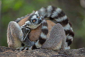 Ring-tailed lemur (Lemur catta) huddled together, Anjaha Community Conservation Site, near Ambalavao, Madagascar, October. Commended in Single Species Portfolio of the Terre Sauvage Nature Images Awar...  -  Bernard Castelein