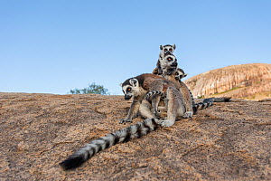 Ring-tailed lemur (Lemur catta) mothers with young, Anjaha Community Conservation Site, near Ambalavao, Madagascar, October. Commended in Single Species Portfolio of the Terre Sauvage Nature Images Aw... - Bernard Castelein