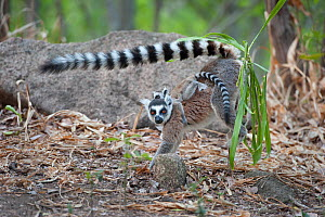 Ring-tailed Lemur ( Lemur catta)  female marking territory. Anjaha Community Conservation Site, near Ambalavao, Madagascar. Commended in Single Species Portfolio of the Terre Sauvage Nature Images Awa... - Bernard Castelein