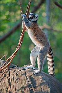 Ring-tailed Lemur (Lemur catta) territory marking, Anjaha Community Conservation Site, near Ambalavao, Madagascar. Commended in Single Species Portfolio of the Terre Sauvage Nature Images Awards 2016. - Bernard Castelein