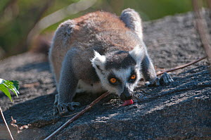 Ring-tailed lemur (Lemur catta) licking minerals from rocks, Anjaha Community Conservation Site, near Ambalavao, Madagascar - Bernard Castelein