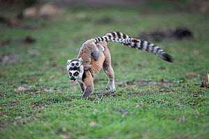 Ring-tailed Lemur (Lemur catta) mother with infant running, Anjaha Community Conservation Site, near Ambalavao, Madagascar - Bernard Castelein