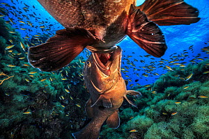Two male Dusky groupers (Epinephelus marginatus) fighting for territory during mating season at 'baixa do meros', a small pinnacle at Formigas islets Protected area, near Santa Maria Island, Azores. F...  -  Jordi Chias