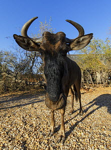 Wildebeest (Connochaetes taurinus) young female, orphaned and now living at the Raptor Retreat Game Lodge South Africa, July.  -  Tony Heald