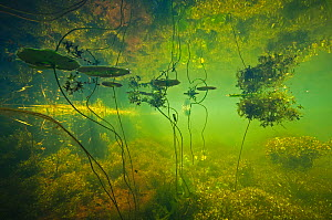 Water filled ditch with shadow of a tree on water with Fringed waterlily (Nymphoides peltata) Star duckweed (Lemna trisulca) Netherlands. July 2015. Commended in the Underwater World Category of the G...  -  Willem  Kolvoort