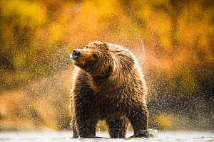 Grizzly bear (Ursus arctos) shaking water off fur, Katmai, Alaska, USA, September. Highly commended in the Mammals category of the GDT Awards Competition 2016.  -  Ole  Jorgen Liodden
