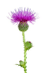 Welted thistle (Carduus acanthoides), Ludwigshafen, Pfalz, Germany. October. Meetyourneighbours.net project - MYN  / Dirk Funhoff