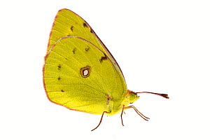 Clouded yellow butterfly (Colias croceus), Lorsch, Hessen, Germany. Meetyourneighbours.net project  -  MYN  / Dirk Funhoff