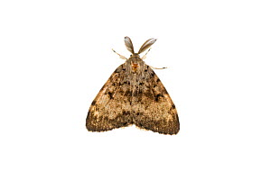 Gypsy moth (Lymantria dispar), Mechtersheim, Pfalz, Germany. July. Meetyourneighbours.net project  -  MYN  / Dirk Funhoff