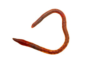 Common earthworm (Lumbricus terrestris), Mannheim, Germany. Meetyourneighbours.net project.  -  MYN  / Dirk Funhoff