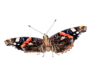 Red admiral (Vanessa atalanta), Mannheim, Germany. Meetyourneighbours.net project.  -  MYN  / Dirk Funhoff